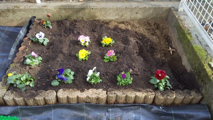 庭にパンジーとジュリアンを植えてみた